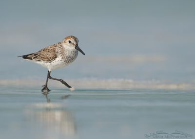Western Sandpiper on the go