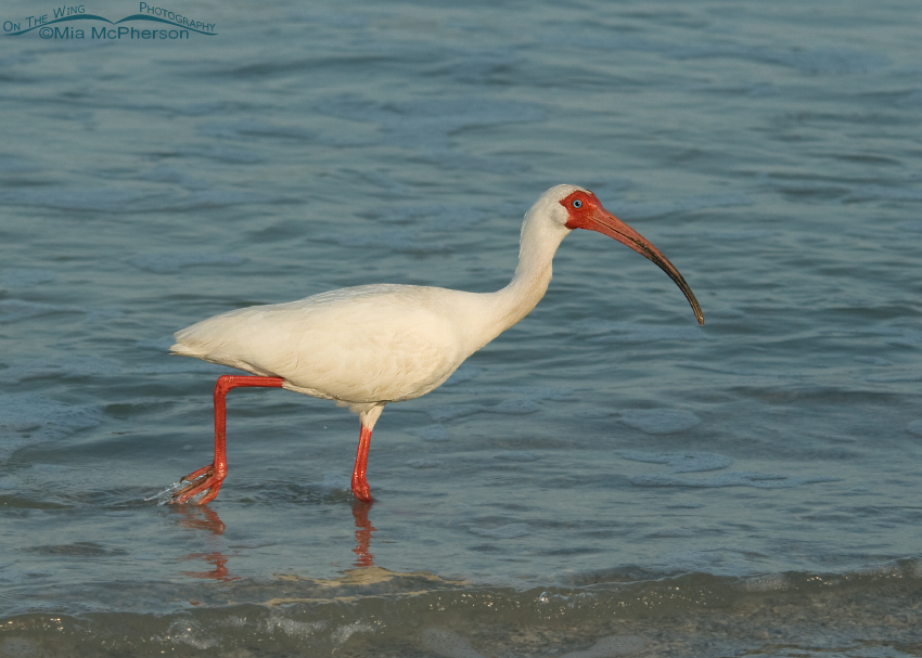 White Ibis adult in breeding plumage walking along the shore