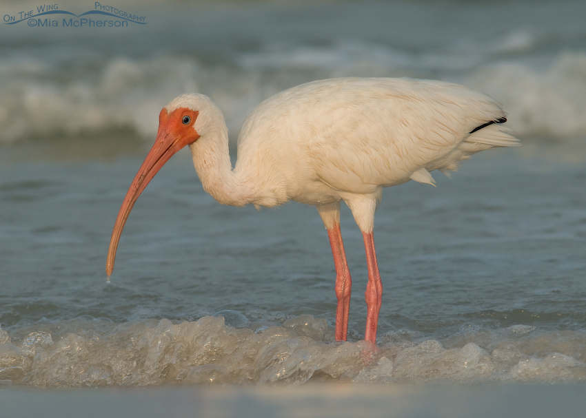 White Ibis adult in nonbreeding plumage, Fort De Soto County Park, Pinellas County, Florida