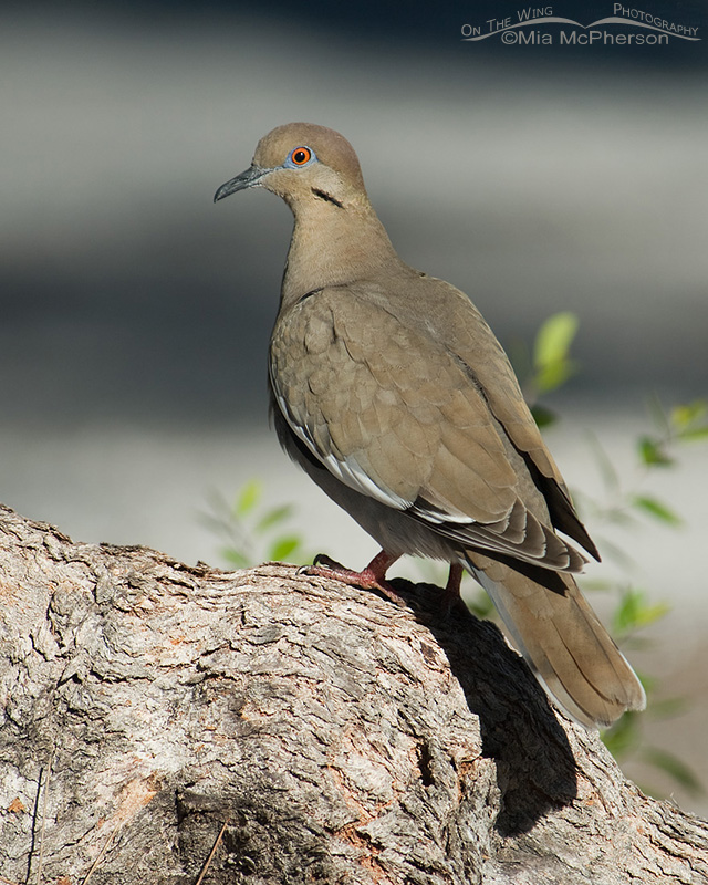 White-winged Dove perched on a tree root
