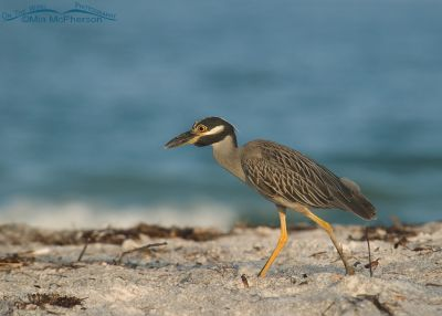 Yellow-crowned Night Heron looking for breakfast