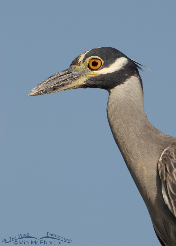 Adult Yellow-crowned Night Heron portrait
