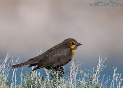 Yellow-headed Blackbird female on the shore of the Great Salt Lake