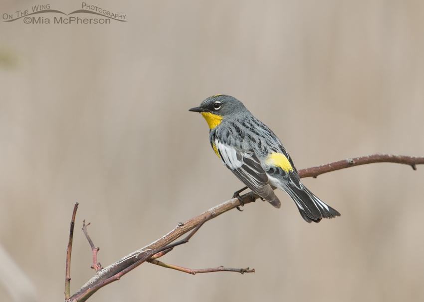 Yellow-rumped Warbler in Spring