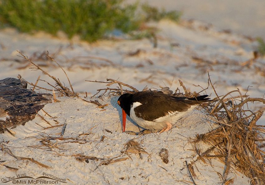 American Oystercatcher on nest with eggs