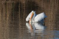 Fluffed up American White Pelican