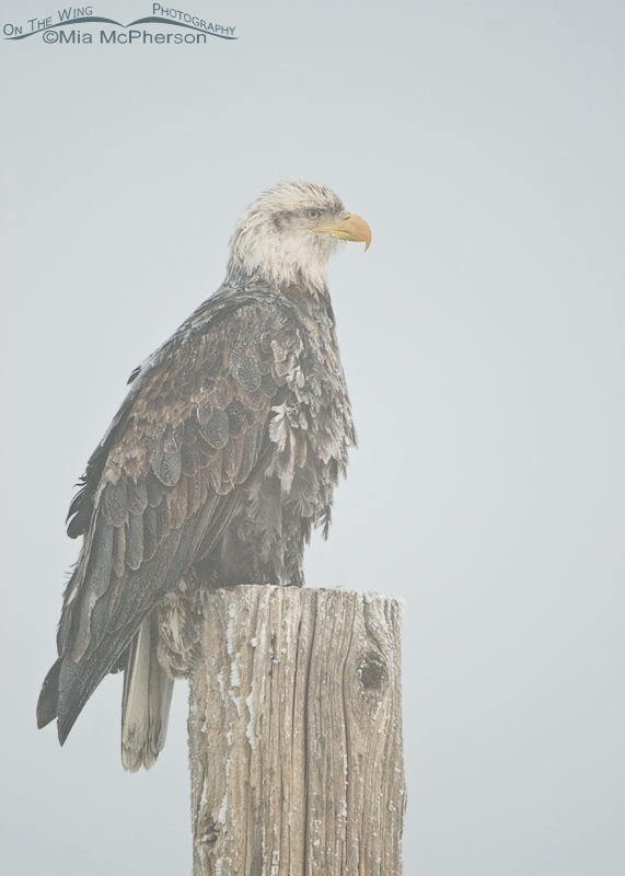 Four year old Bald Eagle covered in hoar frost in heavy fog