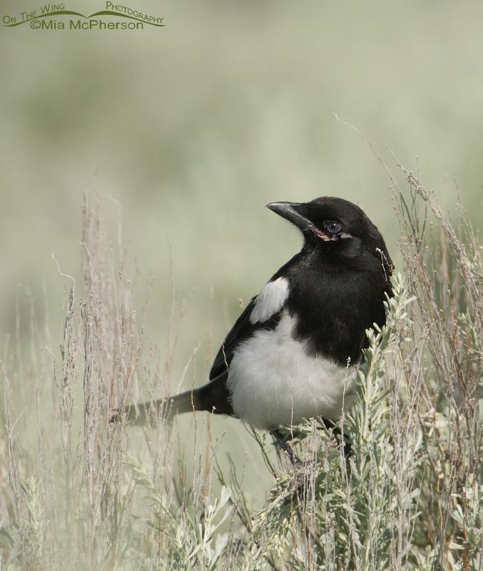 Black-billed Magpie juvenile on sage