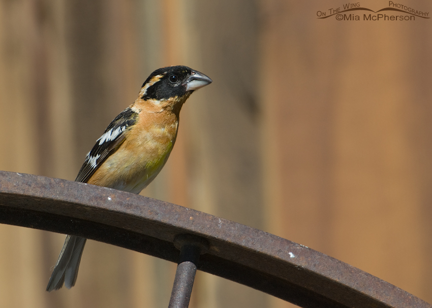 Male Black-headed Grosbeak perched on a rusty wagon wheel