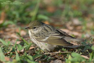 Female Blackpoll warbler at Fort De Soto
