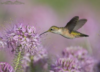 Calliope Hummingbird feeding on the nectar of a Rocky Mountain Bee Plant