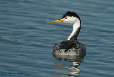 Back view of an adult Clark's Grebe