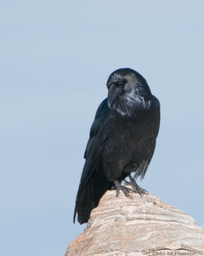 Common Raven with the Great Salt Lake in the background