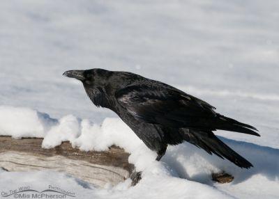 Calling Common Raven in snow