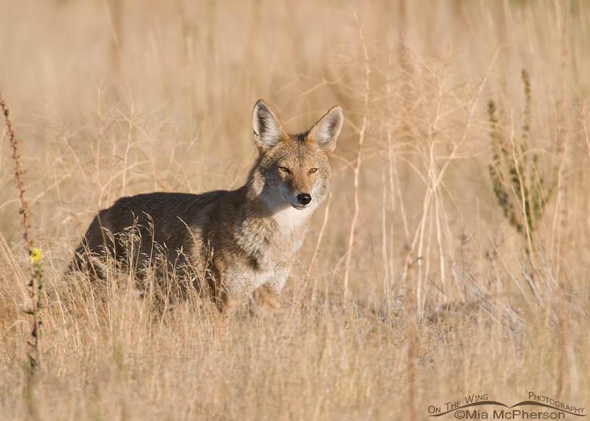 Friday Photos Coyote In A Prairie Grassland Mia