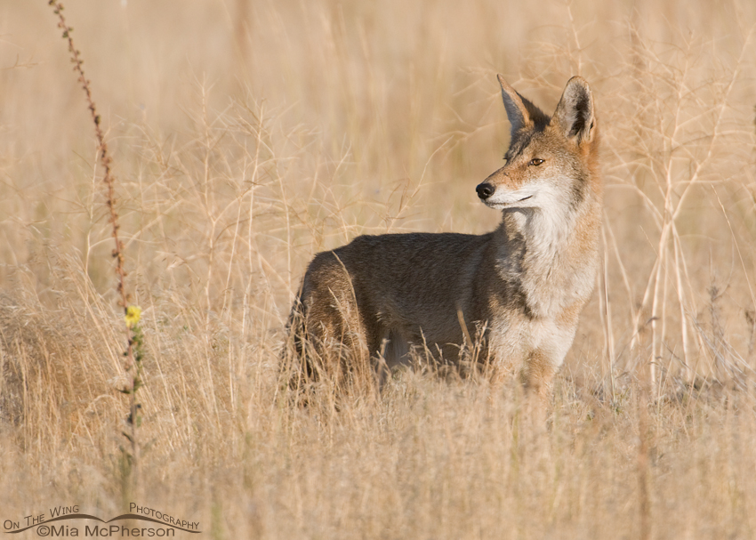 Coyote in a prairie grassland
