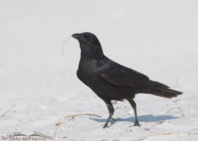 Fish Crow with nesting material