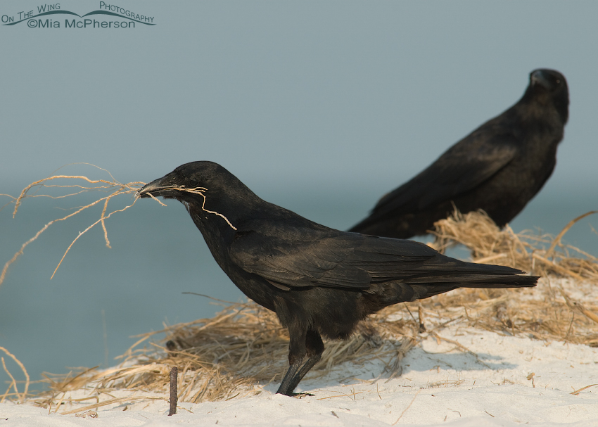 Fish Crow pair looking for nesting materials
