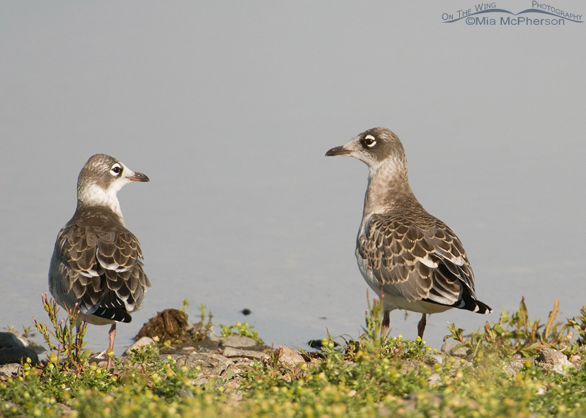 Juvenile Franklin's Gulls