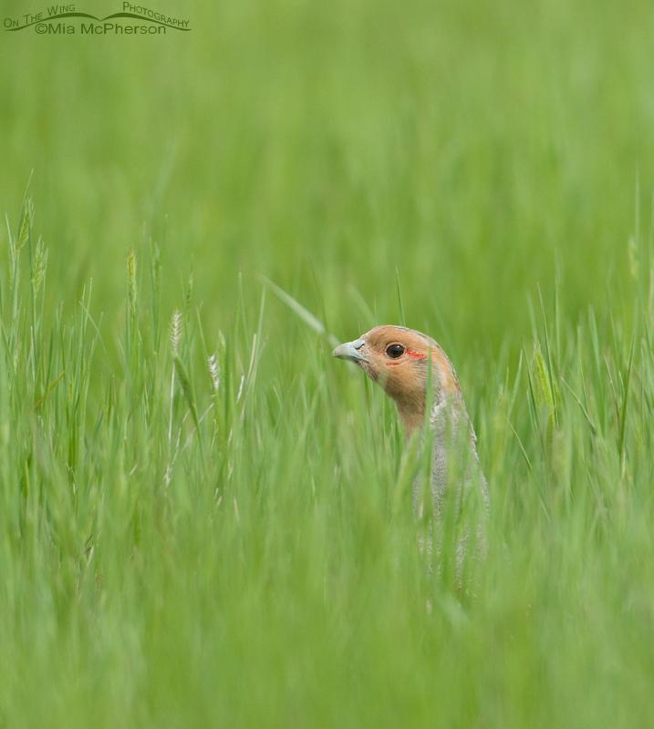 Gray Partridge in fresh green grasses