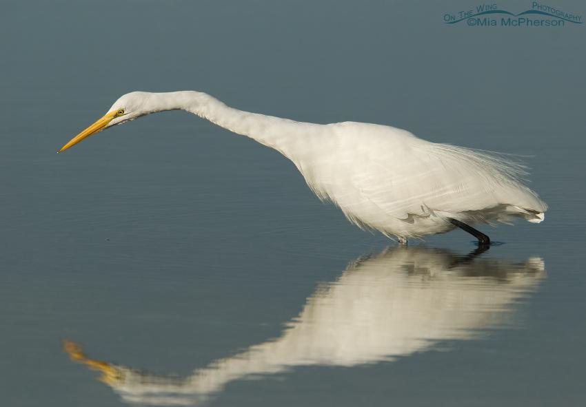 Great Egret hunting prey in a Florida lagoon