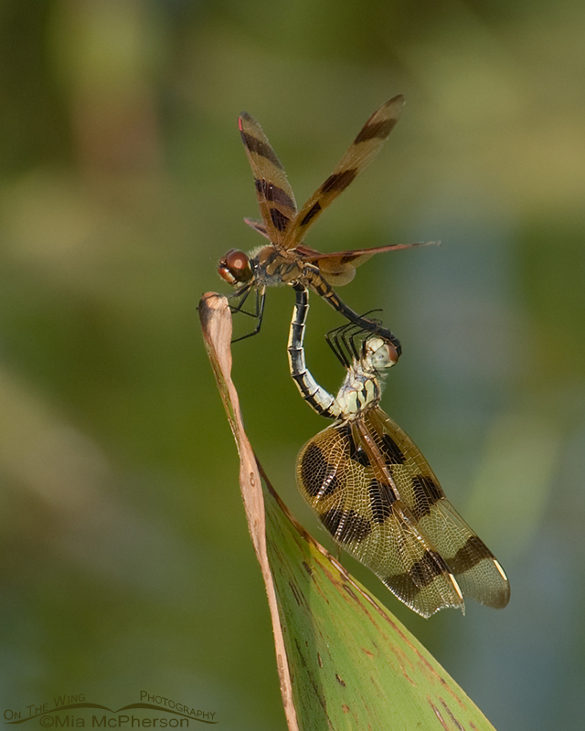 Halloween Pennant Dragonfly Images