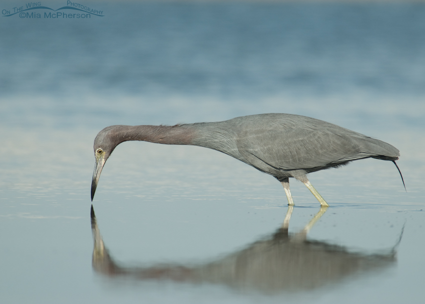 Little Blue Heron and reflection