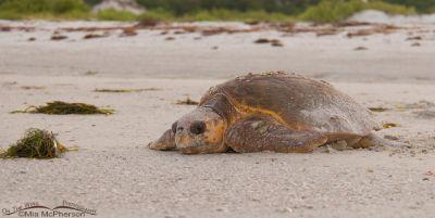 Female Loggerhead Turtle