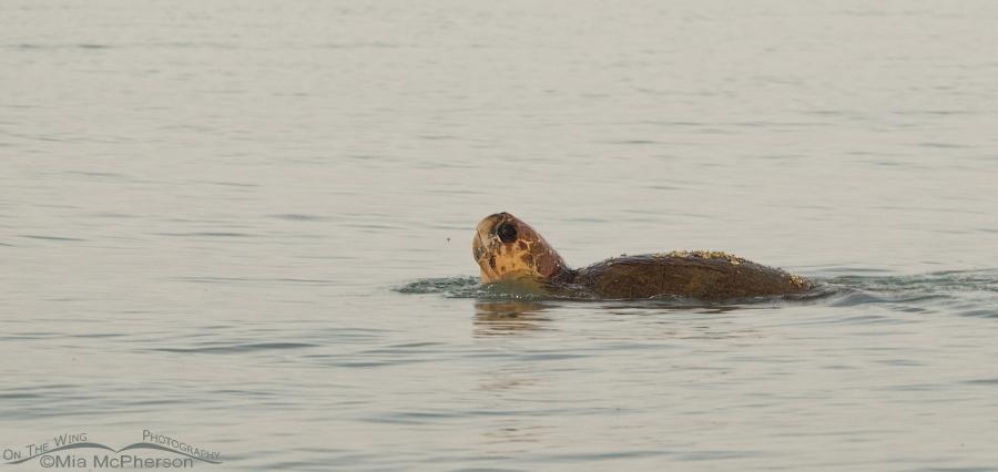 Last view of the female Loggerhead Turtle