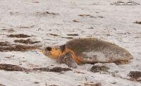 Female Loggerhead Turtle leaving the nest site