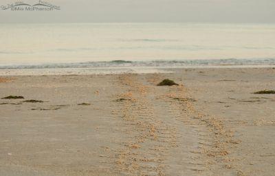 Loggerhead Turtle tracks
