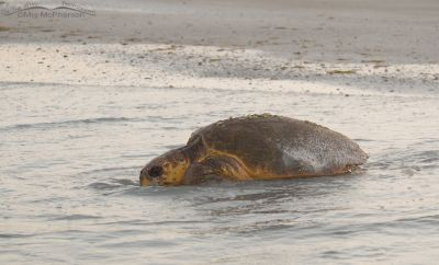 Female Loggerhead Turtle in the surf
