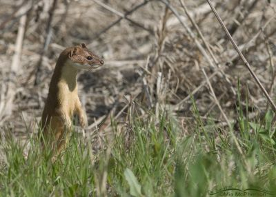 Long-tailed Weasel in summer coat