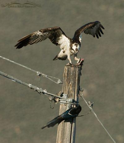 Osprey - Black-billed Magpie Fish Fight