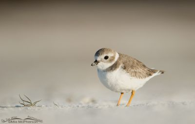 Low angle Piping Plover