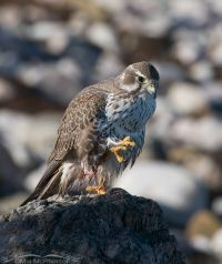 Adult Prairie Falcon perched on a rock near the Great Salt Lake