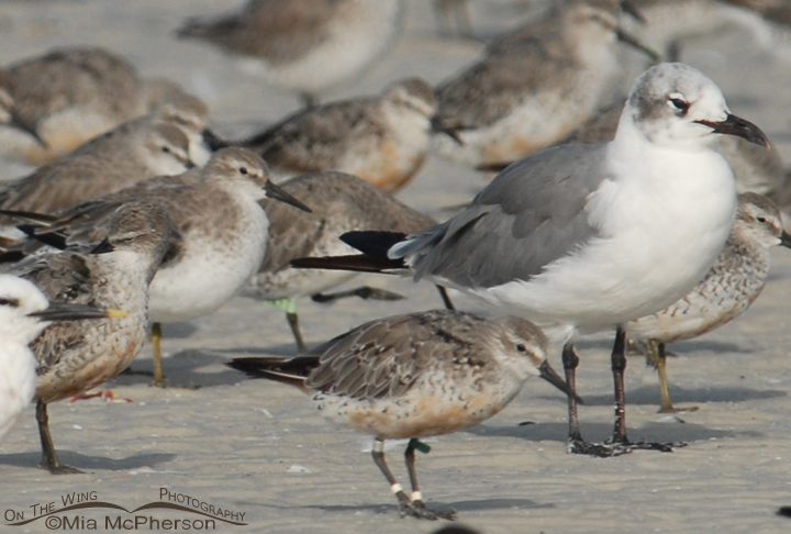 Twelve year old banded Red Knot