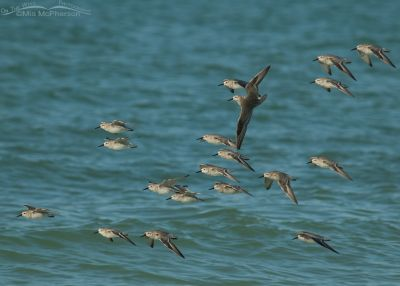 Flock of Red Knots flying by