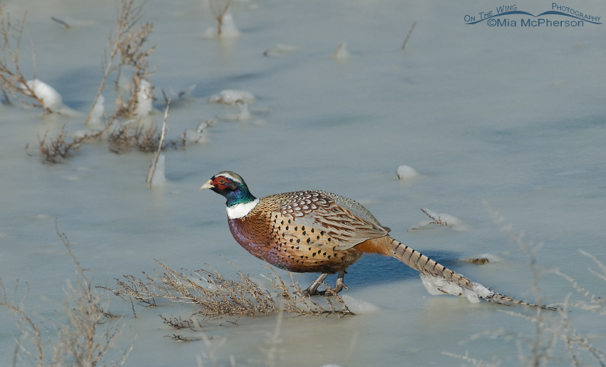 Male Ring-necked Pheasant with ice encrusted tail