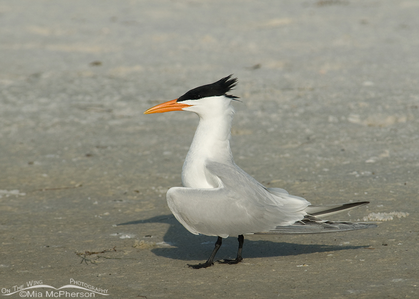 Royal Tern in breeding plumage
