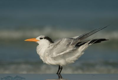 Adult Royal tern in nonbreeding plumage