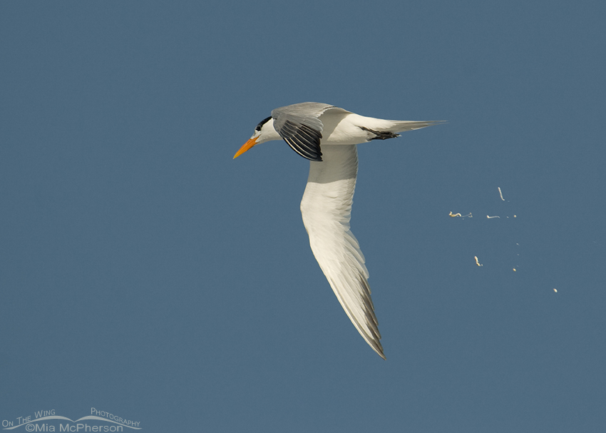 Royal Tern poop bomb