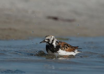Ruddy Turnstone bathing