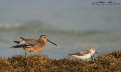 Short-billed Dowitcher on seaweed