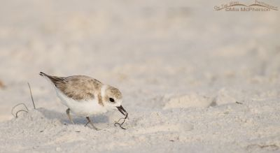 Snowy Plover with ant