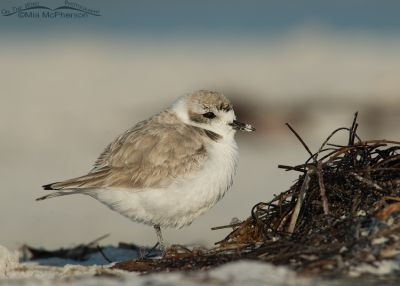 Snowy Plover on the wrack line