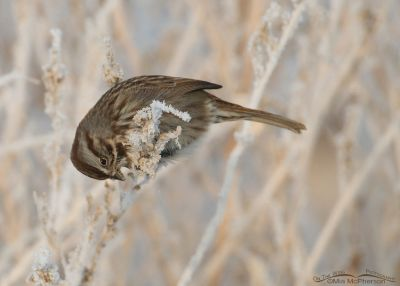 Song Sparrow working at getting some seeds