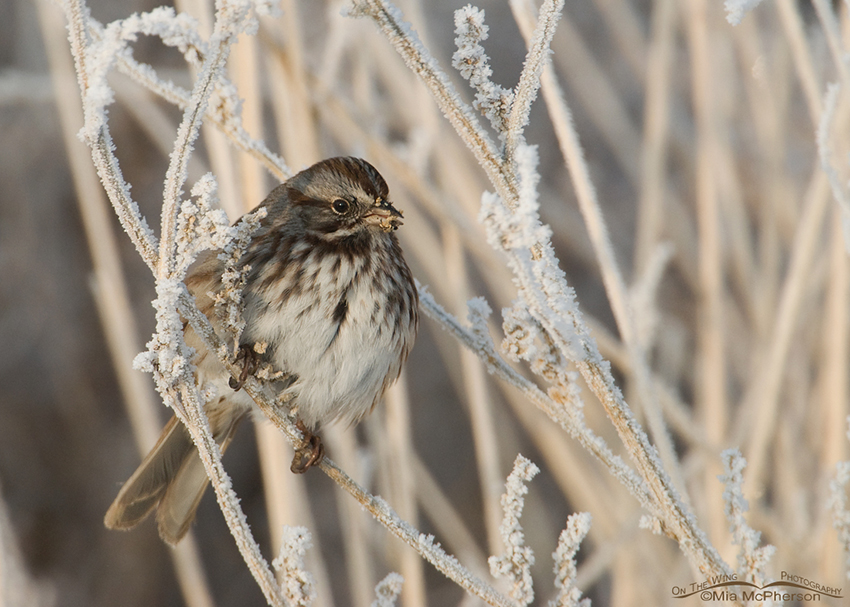 Song Sparrow on a hoar frost covered perch