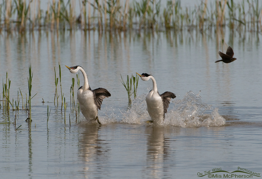 Rushing Western Grebes with a blackbird