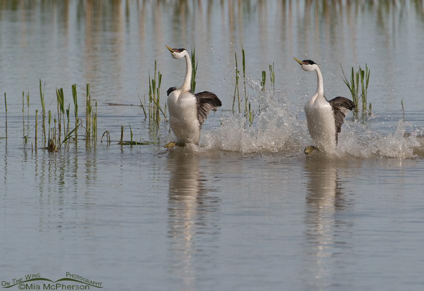 Rushing Western Grebes dancing across the water
